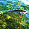 Colorful trout