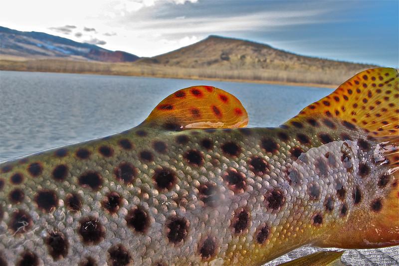 Brown Trout Spots