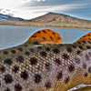 Brown Trout Spots