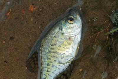 Dead Fish- Pelican Lake
