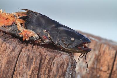 Half eaten Bullhead- Pelican Lake