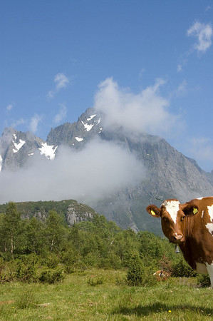 Ku og fjell (© Ragnar Våga Pedersen)