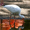 This ibis sips from the Pond of Flamingo-ness. Maybe he wants to be a flamingo ... or maybe he's just thirsty. ;D