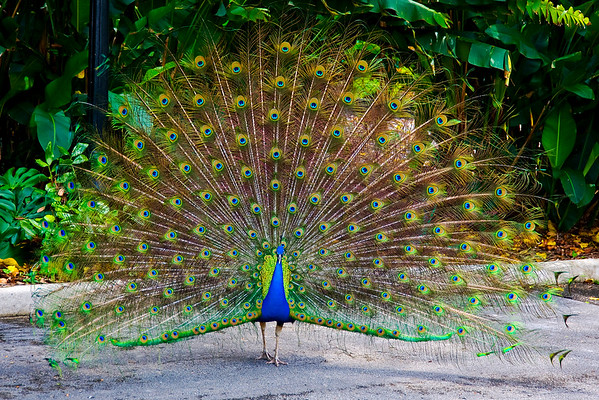 Peacock looking for love.