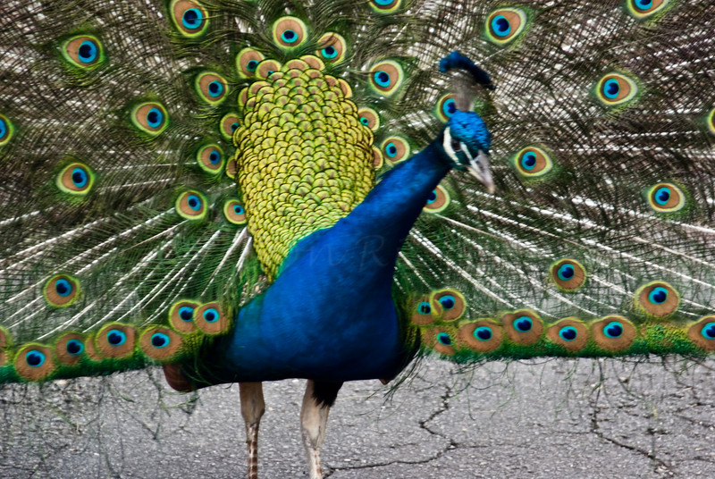 Showy Peacock, Watch out!