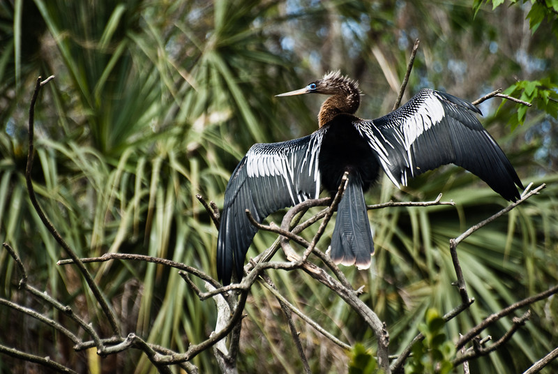 Aninga airing its wings