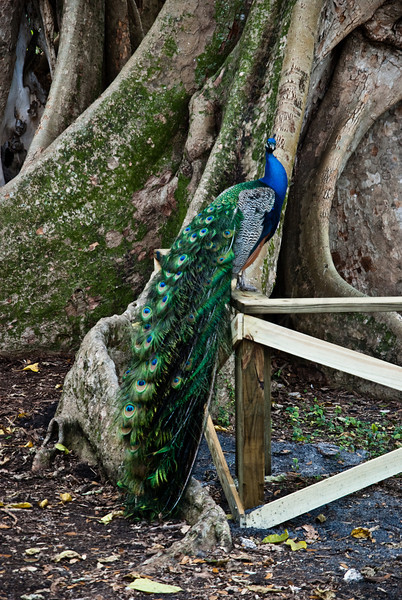 Peacock and Ficus