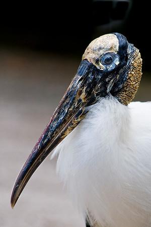 Swamp Stork
