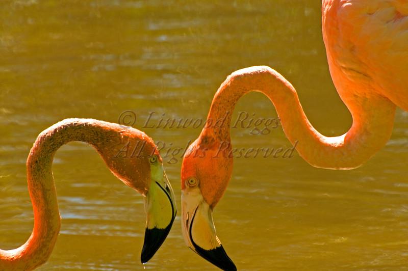 Eyeball-to-eyeball flamingoes.
