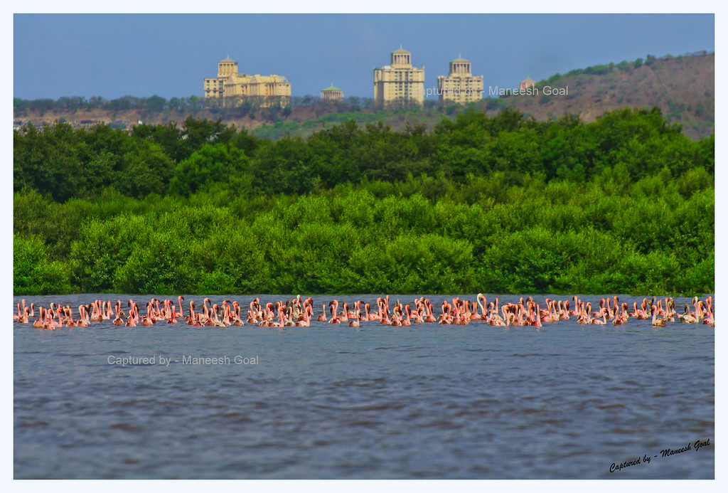 Flamingos and Mangroves Against the Backdrop of Buildings in Powai