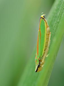 Cicadelle (Graphocephala) - Ordre des Hémiptères - En une fraction de seconde, la goutte de miellat apparait et est catapultée