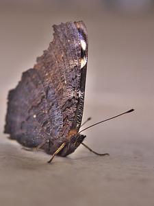 Un papillon dans la maison, en février !