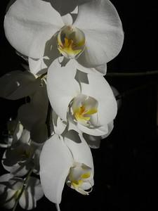 Orchidée (octobre 2011)