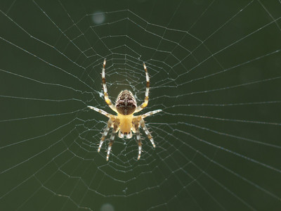 Araignée de +/- 10 mm, en embuscade sur une porte-fenêtre
