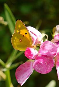 Le Souci (Pieridae Coliadinae), sur Pois de senteur - Belgique