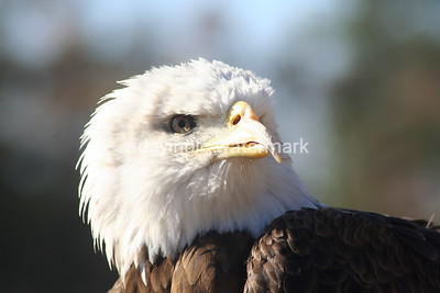 Bald Eagle- Spirit