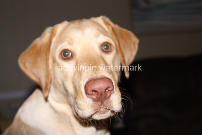 Allie our Yellow Lab