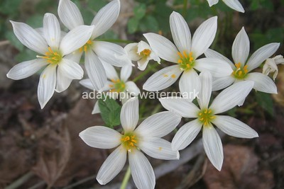 Group of Crocus Lily White