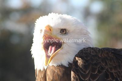 Bald Eagle-Spirit at Auburn University Raptor Center