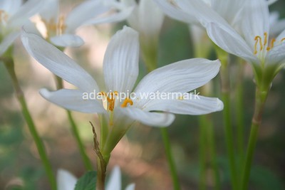 White Crocus in the Yard