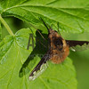 Bee Fly (Bombylius major)<br /> Raleigh, North Carolina, USA