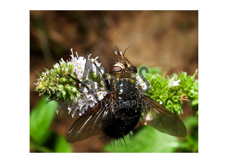 Tachinid Fly (Archytas sp.)<br /> Raleigh, North Carolina, USA