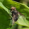 Tachinid Fly<br /> Raleigh, North Carolina, USA
