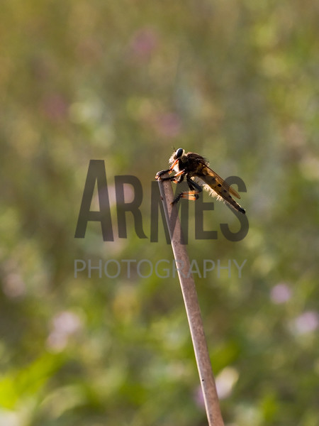 Robber Fly (Promachus rufipes)<br /> Raleigh, North Carolina, USA