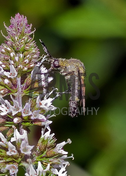 Scaly Bee Fly (Lepidophora lepidocera)<br /> Raleigh, North Carolina, USA