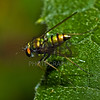 Condylostylid Long-legged fly (Condylostylus sp.)<br /> Raleigh, North Carolina, USA