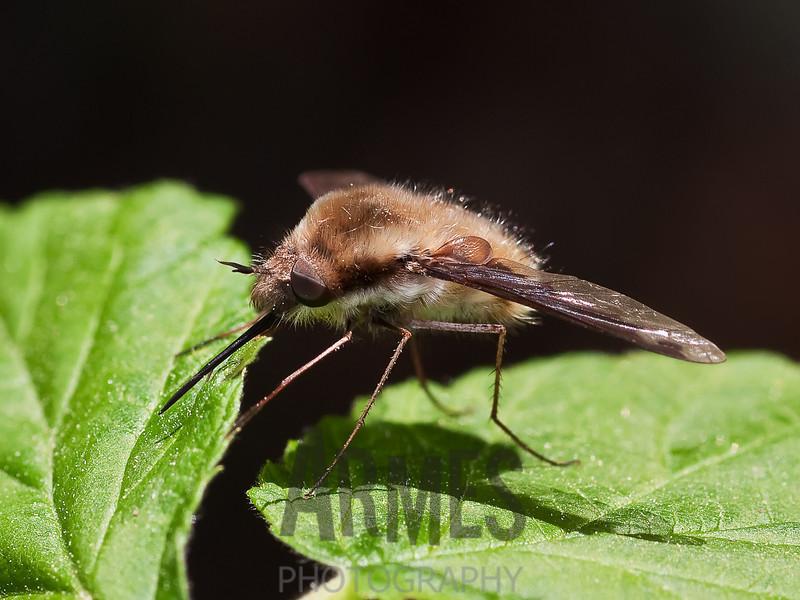 Bee Fly (Bombylius major)<br /> Raleigh, North Carolina, USA