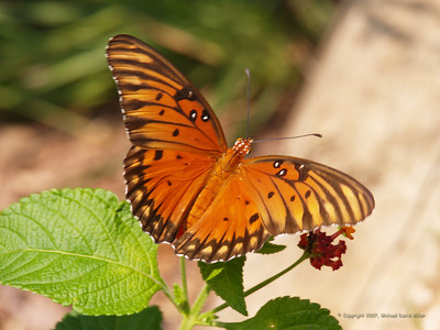 Our first Gulf Fritillary of 2007! Oly E330, ZD50-200 + EX25 Macro Extender.