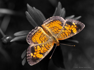 Pearl Crescent on black and white background. Oly E330, ZD35 and TC14 Teleconverter
