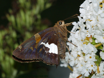 Silver Spotted Skipper. Oly E500, ZD50-200 + EX25 Macro Extender. Flash fill.