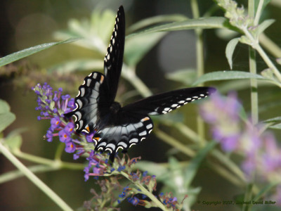 Eastern Black Swallowtail. Oly E330, ZD50-200 + EX25 Macro Extender. Fill Flash.
