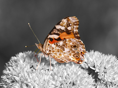 American Painted Lady. Oly E330, ZD50-200 and EX25 Tube Extension.