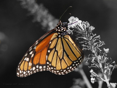Monarch butterfly on black and white background.  Oly E330, ZD50-200 @200mm with EX25 extender.