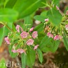 Kalmia Angustifolia, sheep laurel