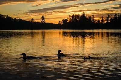 Loon Family at Sunset