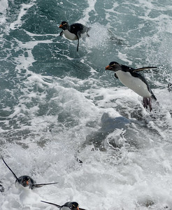 Rockhopper Penguins Trying to Land in Heavy Surf