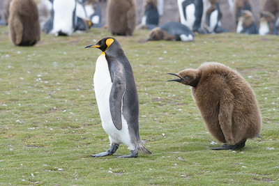King Penguin Mother and Chick