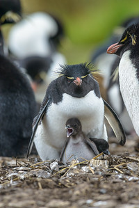 Rockhopper with Chick