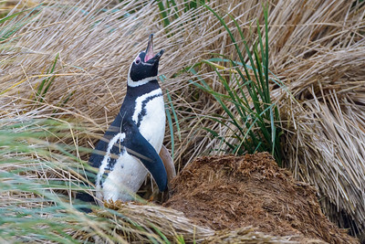Magellanic Penguin braying