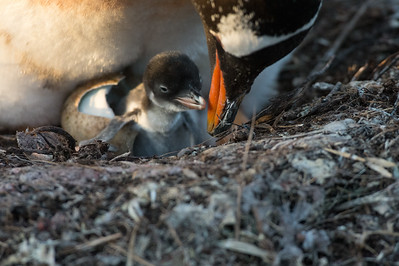 Gentoo Chick Just Climbing Out of Egg