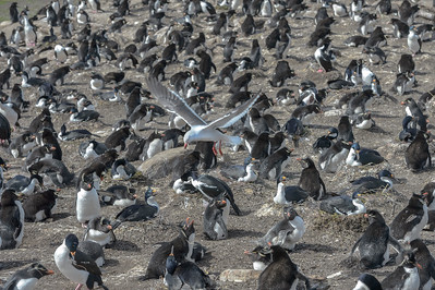 Gull Over Rockhopper Penguin Colony