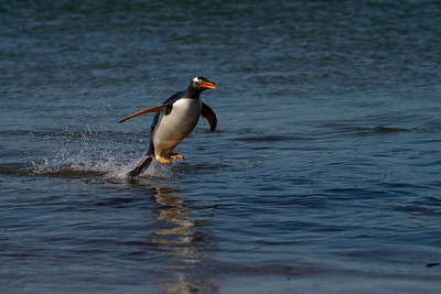 Gentoo Penguin Leaps Out of Water Surveying Beach Landing Site