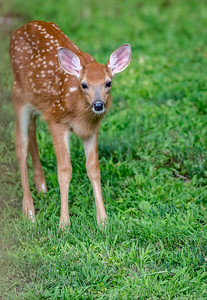 White Tail Fawn in Ipswich, Mass