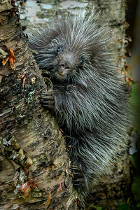 Porcupette on Birches near the Cabin