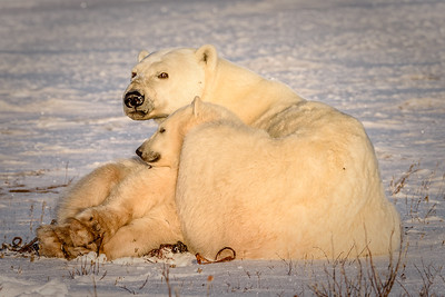 Watchful Mother Polar Bear