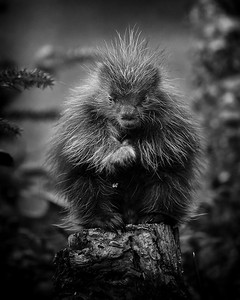 Baby Porcupine in Harrington, Maine